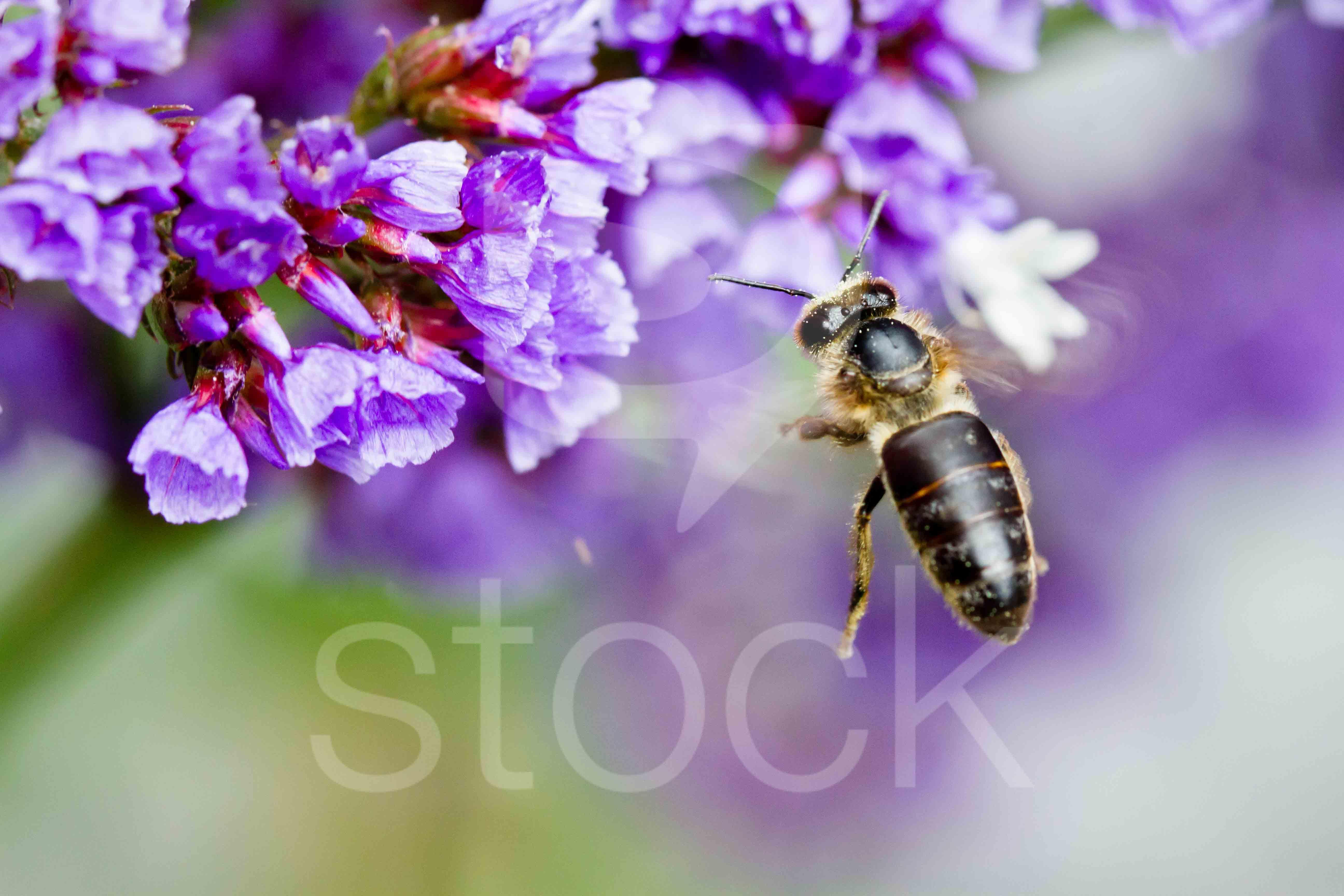 Abeja en flor en jardin en bogot sotastock for Ahuyentar abejas jardin