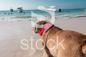 Un Bulldog frente al mar de playa blanca